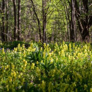 ООПТ «Черневые леса Салаира»